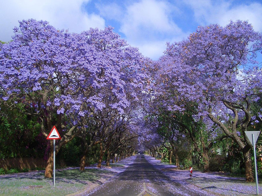15 Amazing Tree Tunnels Jacarandas Walk in South Africa