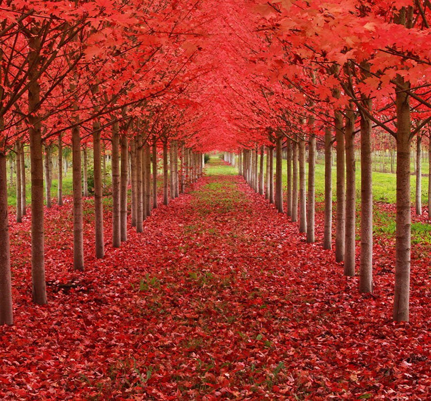 15 Amazing Tree Tunnels  Maple Tunnel in St. Louis, Oregon, U.S.A.