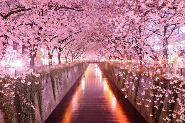 15 Amazing Tree Tunnels Sakura Tunnel in Japan