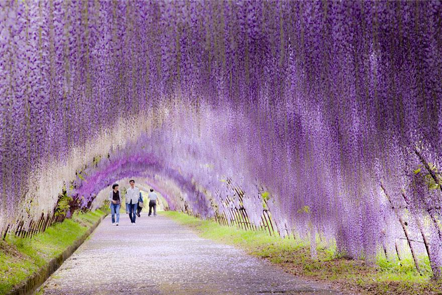 15 Amazing Tree Tunnels Wisteria Flower Tunnel in Japan